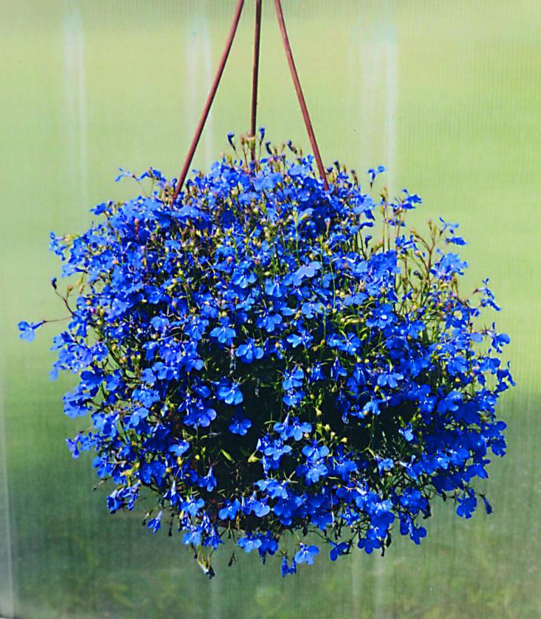 мелкие голубые цветы названия и фото том